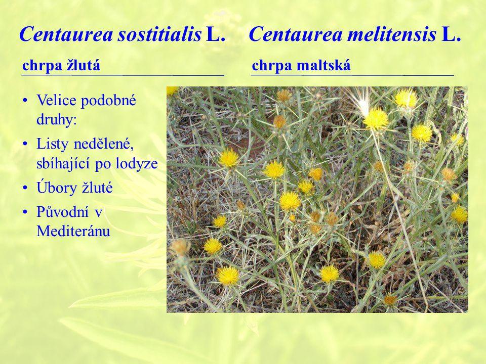 Centaurea sostitialis L.chrpa žlutá Centaurea melitensis L.