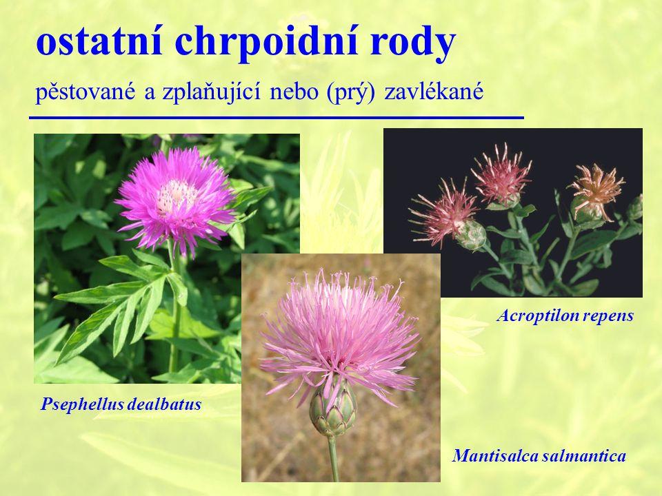 ostatní chrpoidní rody pěstované a zplaňující nebo (prý) zavlékané Psephellus dealbatus Acroptilon repens Mantisalca salmantica