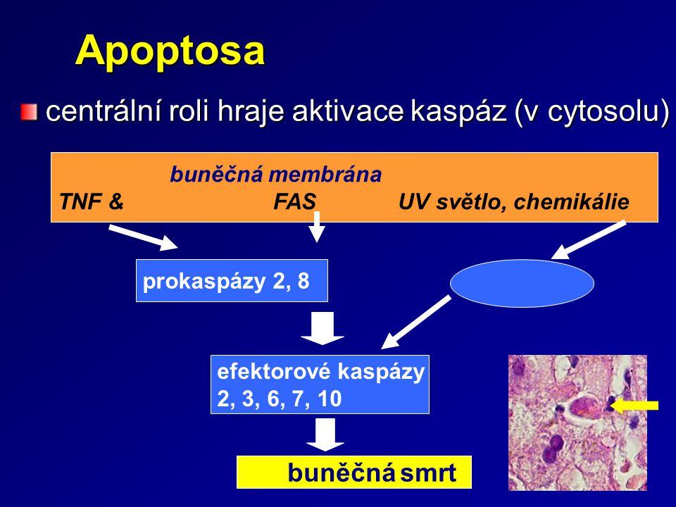 Apoptosa Apoptosa centrální roli hraje aktivace kaspáz (v cytosolu) efektorové kaspázy 2, 3, 6, 7, 10 buněčná membrána TNF & FAS UV světlo, chemikálie