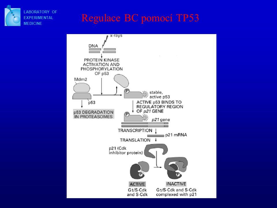 Regulace BC pomocí TP53 LABORATORY OF EXPERIMENTAL MEDICINE