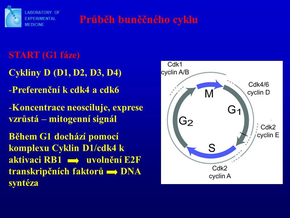 LABORATORY OF EXPERIMENTAL MEDICINE Průběh buněčného cyklu START (G1 fáze) Cykliny D (D1, D2, D3, D4) -Preferenční k cdk4 a cdk6 -Koncentrace neoscilu