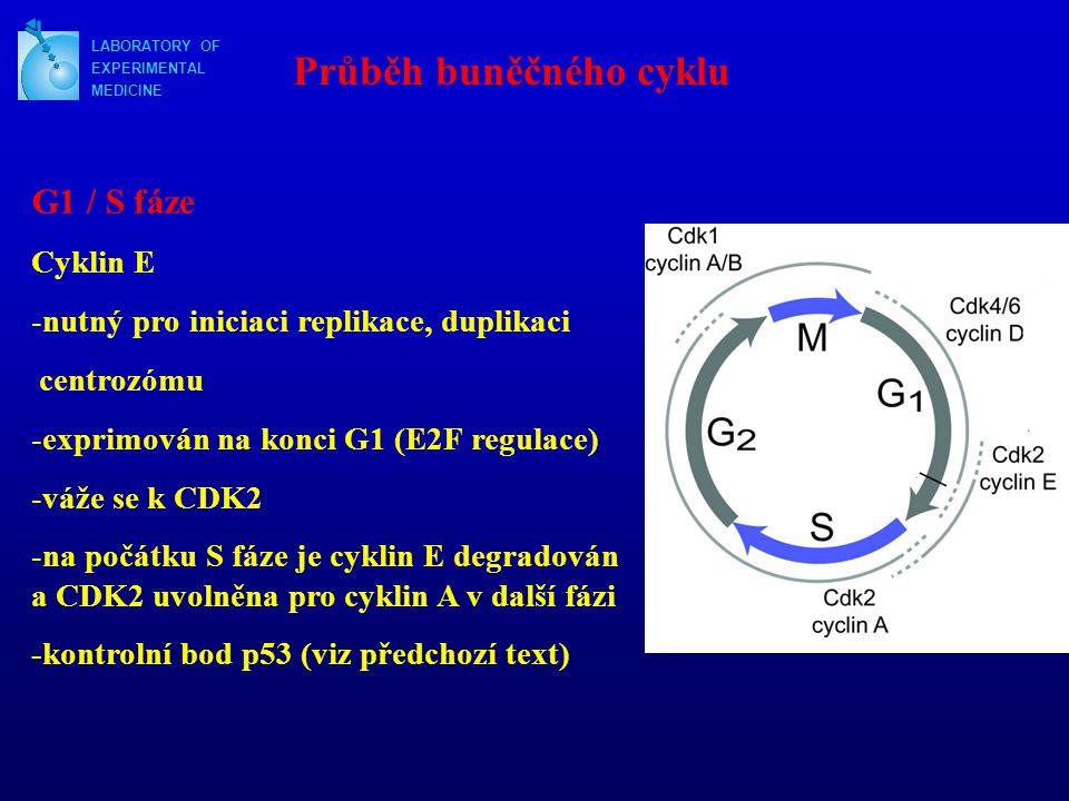 LABORATORY OF EXPERIMENTAL MEDICINE Průběh buněčného cyklu G1 / S fáze Cyklin E -nutný pro iniciaci replikace, duplikaci centrozómu -exprimován na kon