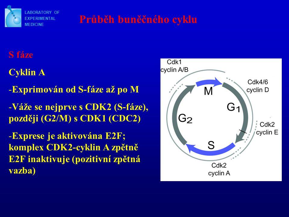 LABORATORY OF EXPERIMENTAL MEDICINE Průběh buněčného cyklu S fáze Cyklin A -Exprimován od S-fáze až po M -Váže se nejprve s CDK2 (S-fáze), později (G2