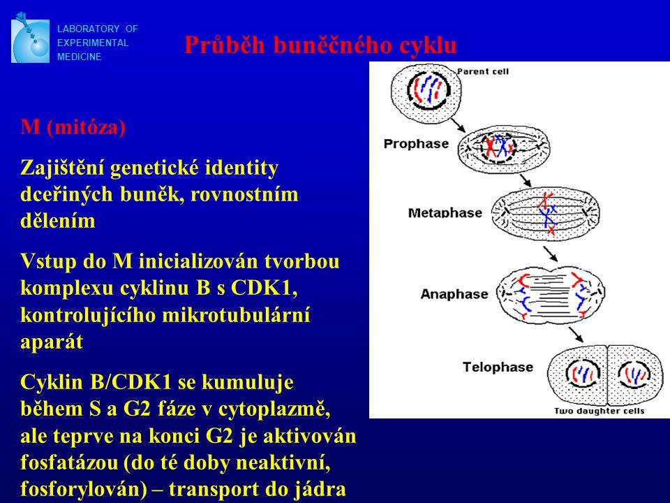 LABORATORY OF EXPERIMENTAL MEDICINE Průběh buněčného cyklu M (mitóza) Zajištění genetické identity dceřiných buněk, rovnostním dělením Vstup do M inic