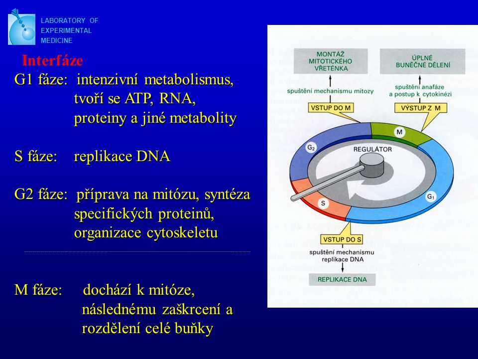 LABORATORY OF EXPERIMENTAL MEDICINE Průběh buněčného cyklu S fáze Cyklin A -Exprimován od S-fáze až po M -Váže se nejprve s CDK2 (S-fáze), později (G2/M) s CDK1 (CDC2) -Exprese je aktivována E2F; komplex CDK2-cyklin A zpětně E2F inaktivuje (pozitivní zpětná vazba)