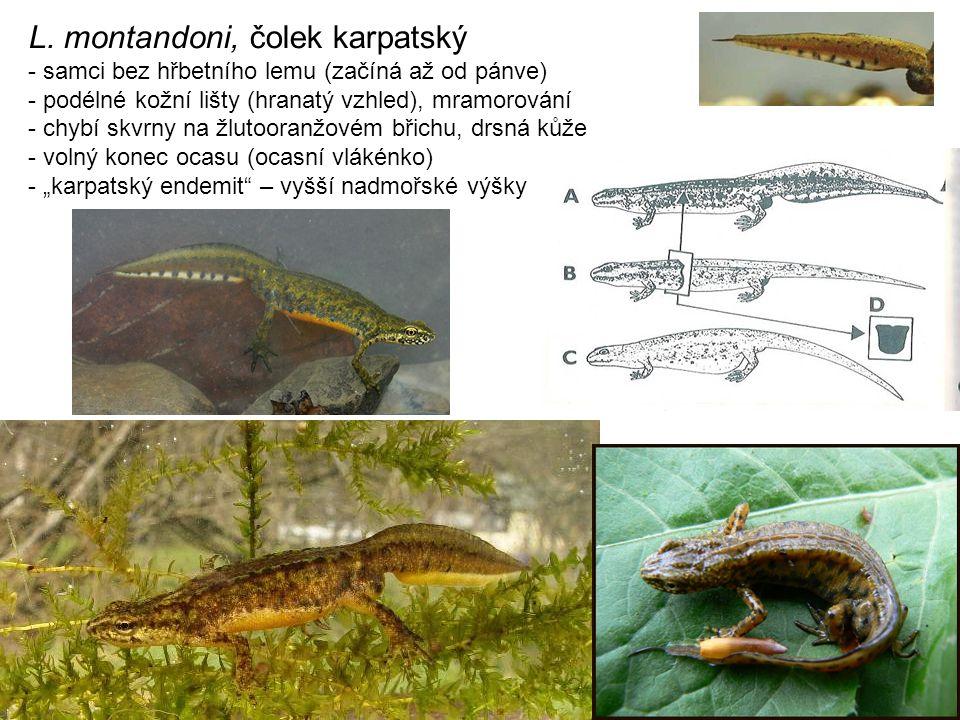 L. montandoni, čolek karpatský - samci bez hřbetního lemu (začíná až od pánve) - podélné kožní lišty (hranatý vzhled), mramorování - chybí skvrny na ž