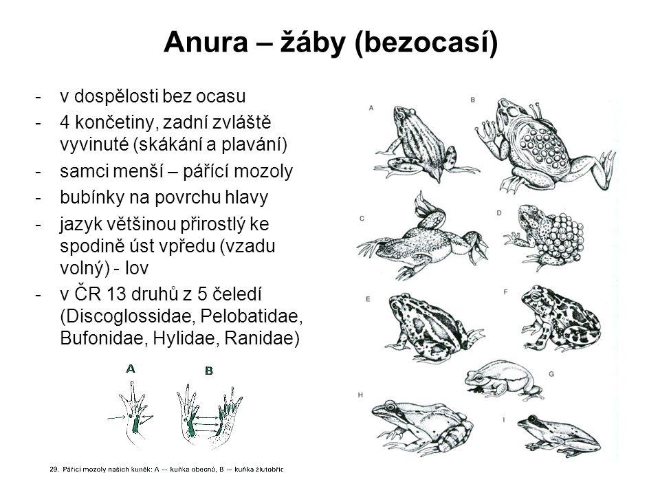 Anura – žáby (bezocasí) -v dospělosti bez ocasu -4 končetiny, zadní zvláště vyvinuté (skákání a plavání) -samci menší – pářící mozoly -bubínky na povrchu hlavy -jazyk většinou přirostlý ke spodině úst vpředu (vzadu volný) - lov -v ČR 13 druhů z 5 čeledí (Discoglossidae, Pelobatidae, Bufonidae, Hylidae, Ranidae)