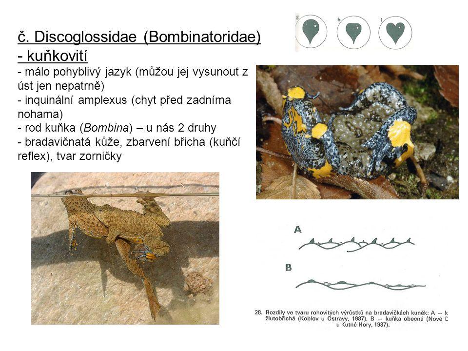č. Discoglossidae (Bombinatoridae) - kuňkovití - málo pohyblivý jazyk (můžou jej vysunout z úst jen nepatrně) - inquinální amplexus (chyt před zadníma