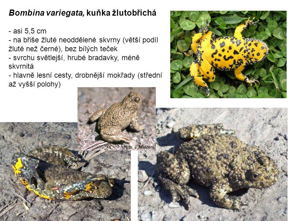 Bombina variegata, kuňka žlutobřichá - asi 5,5 cm - na břiše žluté neoddělené skvrny (větší podíl žluté než černé), bez bílých teček - svrchu světlejší, hrubé bradavky, méně skvrnitá - hlavně lesní cesty, drobnější mokřady (střední až vyšší polohy)