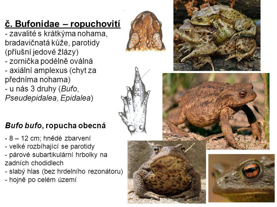 č. Bufonidae – ropuchovití - zavalité s krátkýma nohama, bradavičnatá kůže, parotidy (příušní jedové žlázy) - zornička podélně oválná - axiální amplex