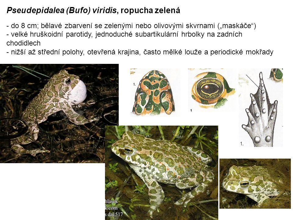 """Pseudepidalea (Bufo) viridis, ropucha zelená - do 8 cm; bělavé zbarvení se zelenými nebo olivovými skvrnami (""""maskáče ) - velké hruškoidní parotidy, jednoduché subartikulární hrbolky na zadních chodidlech - nižší až střední polohy, otevřená krajina, často mělké louže a periodické mokřady"""