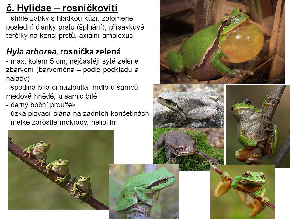 č. Hylidae – rosničkovití - štíhlé žabky s hladkou kůží, zalomené poslední články prstů (šplhání), přísavkové terčíky na konci prstů, axiální amplexus