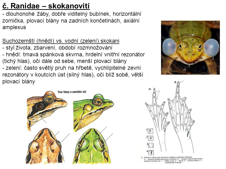 č. Ranidae – skokanovití - dlouhonohé žáby, dobře viditelný bubínek, horizontální zornička, plovací blány na zadních končetinách, axiální amplexus Suc