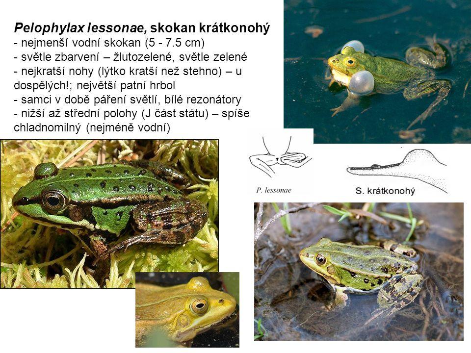 Pelophylax lessonae, skokan krátkonohý - nejmenší vodní skokan (5 - 7.5 cm) - světle zbarvení – žlutozelené, světle zelené - nejkratší nohy (lýtko kratší než stehno) – u dospělých!; největší patní hrbol - samci v době páření světlí, bílé rezonátory - nižší až střední polohy (J část státu) – spíše chladnomilný (nejméně vodní)