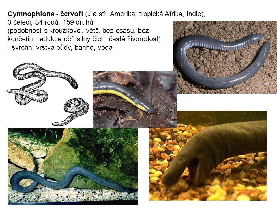 """Urodela - mloci (severní polokoule), 8 čeledí (""""Caudata ) -ocas i v dospělosti, většinou 4 končetiny, často menší samci, silný čich Hynobiidae (5;31) - pamlokovití (Asie) Cryptobranchidae (2;2) - velemlokovití (Jap, Čína, sv."""