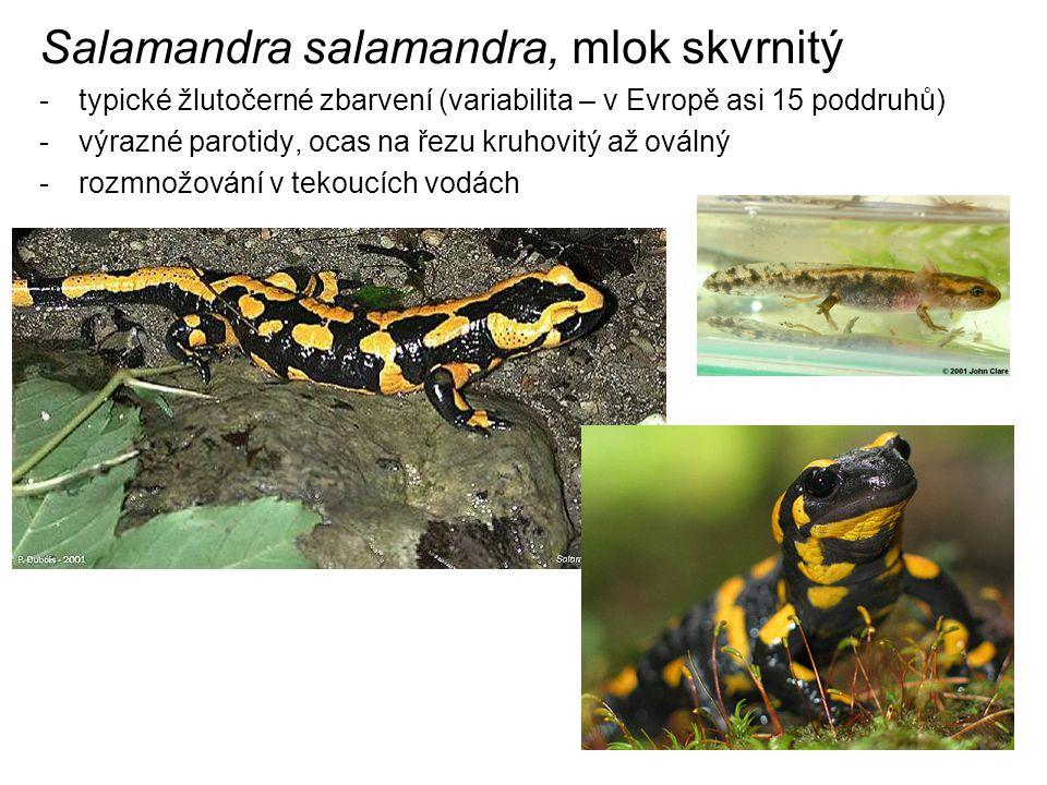 Salamandra salamandra, mlok skvrnitý -typické žlutočerné zbarvení (variabilita – v Evropě asi 15 poddruhů) -výrazné parotidy, ocas na řezu kruhovitý až oválný -rozmnožování v tekoucích vodách