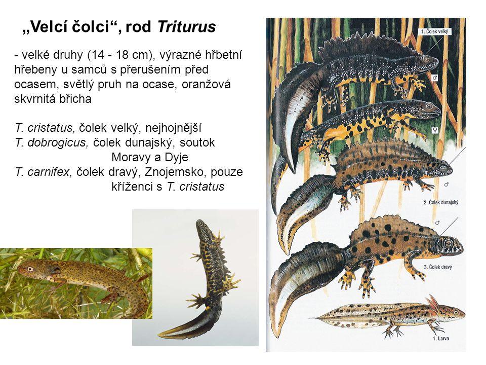 """""""Velcí čolci , rod Triturus - velké druhy (14 - 18 cm), výrazné hřbetní hřebeny u samců s přerušením před ocasem, světlý pruh na ocase, oranžová skvrnitá břicha T."""