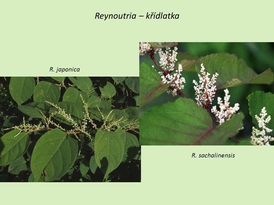 Reynoutria – křídlatka R. japonica R. sachalinensis