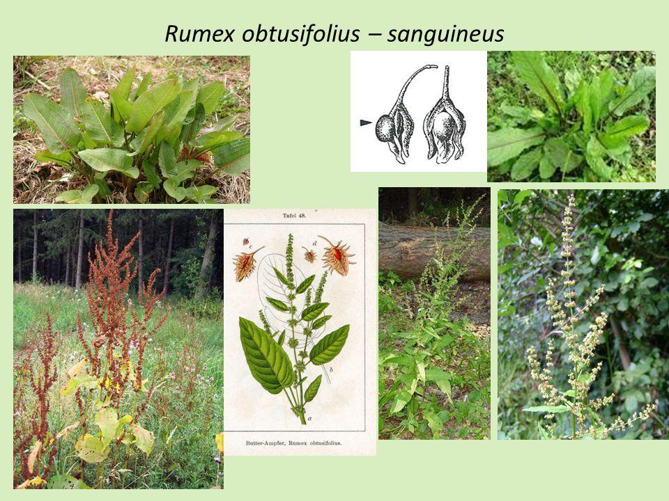 Euphorbia esula – waldsteinii (virgata) Rostlina zelená Lodyžní listy podlouhlé, nejširší ve své polovině- dvou třetinách své délky Listeny pod cyathii ledvinité Indikace: sekundární trávníky, meze, úhory,, náspy, okraje polních cest, nížiny-horský stupeň Rostlina šedozelená-sivá Lodyžní listy kopinaté, nejširší ve své dolní třetině Listeny pod cyathii tupě trojúhlé-vejčité Indikace: Bromion, Koelerio-Phleion, hlinité meze, teplé oblasti