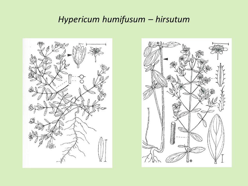 Hypericum humifusum – hirsutum