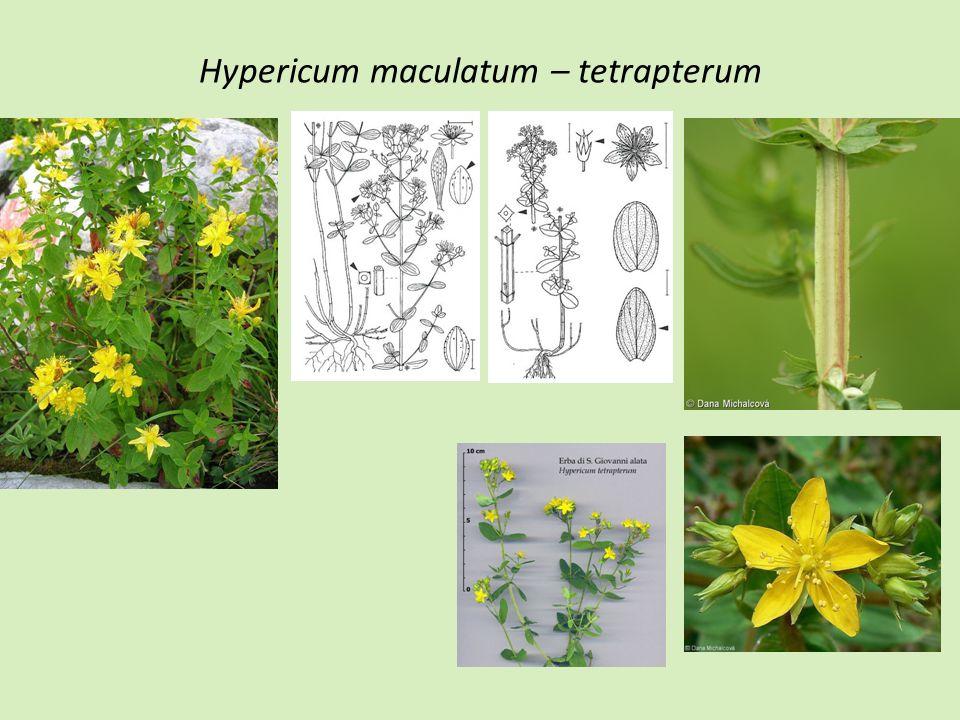 Hypericum maculatum – tetrapterum