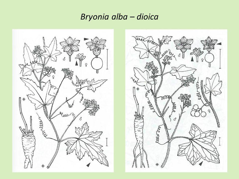 Bryonia alba – dioica