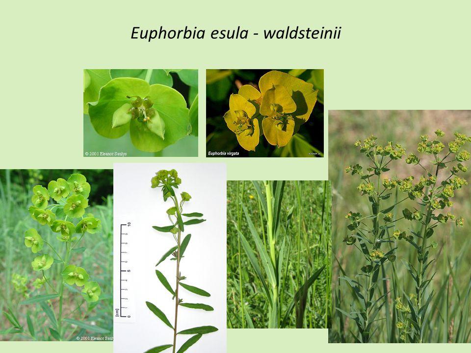 Euphorbia esula - waldsteinii