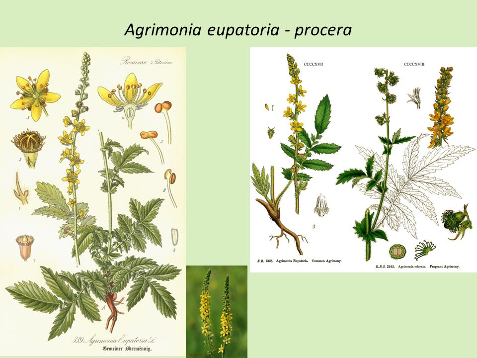 Agrimonia eupatoria - procera