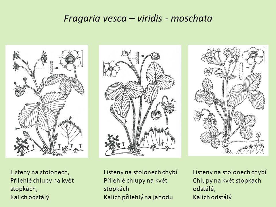 Fragaria vesca – viridis - moschata Listeny na stolonech, Přilehlé chlupy na květ stopkách, Kalich odstálý Listeny na stolonech chybí Přilehlé chlupy