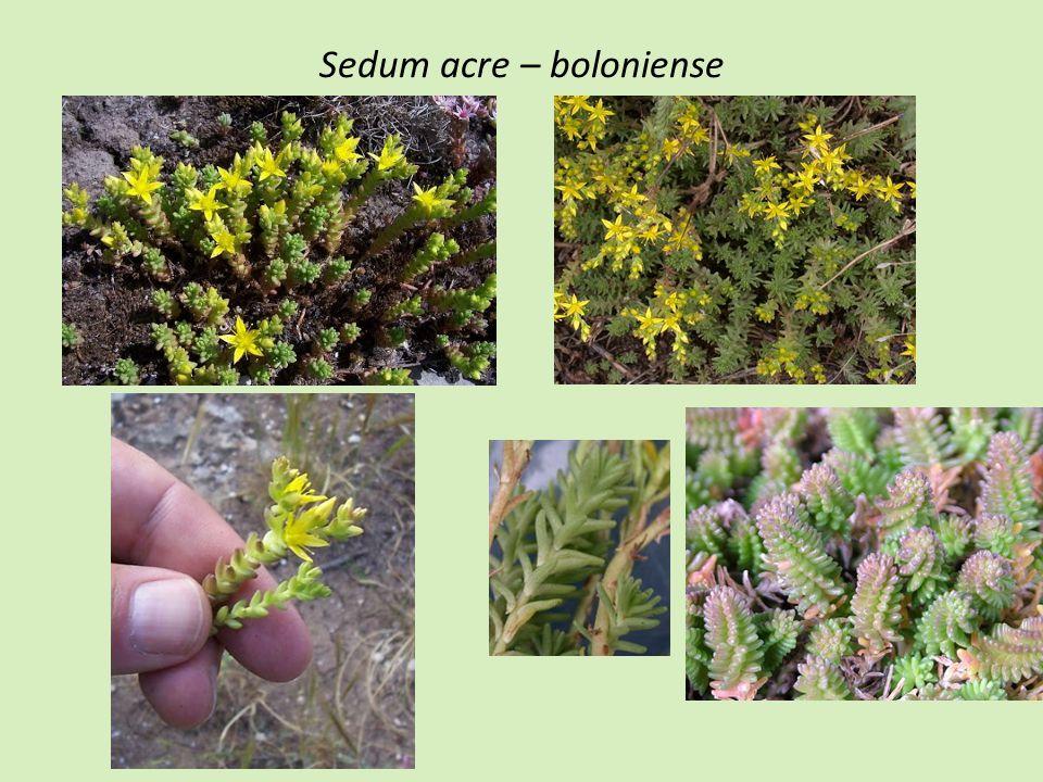 Sedum acre – boloniense