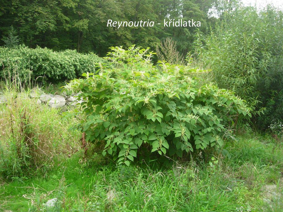 Reynoutria - křídlatka