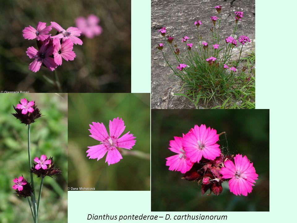 Dianthus pontederae – D. carthusianorum