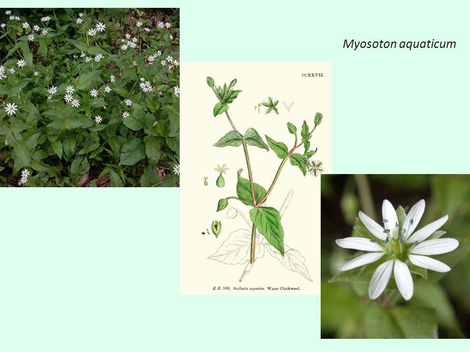 Scleranthus annuus - perennis Rostliny jednoleté-ozimé C cípy úzce trojúhelníkovité, špičaté, s velmi úzkým (do 0,2 mm ) širokým málo zřetelným blanitým lemem Tyčinek 2-5 Indikace: segetál, písčité- hlinité na N bohaté půdy Rostliny vytrvalé C cípy úzce eliptické, tupé, s širokým (0,5 mm ) blanitým mléčně zbarveným zřetelným lemem Tyčinek 10 Indikace: mělké půdy, skály, skalní stepi, kamenité pastviny, lomy, písky, acidofyt