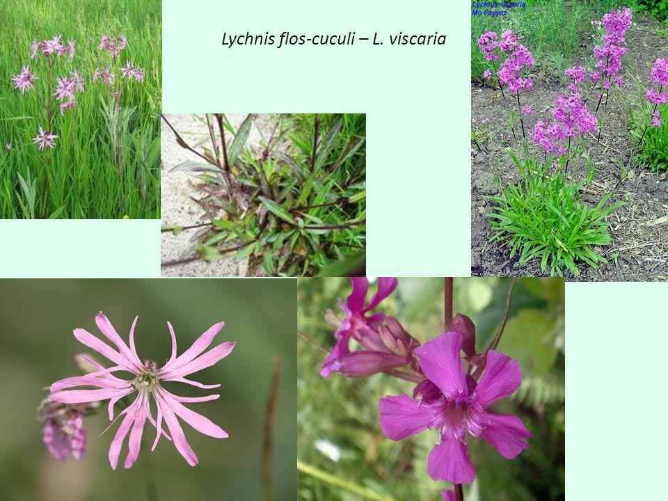 Lychnis flos-cuculi – L. viscaria