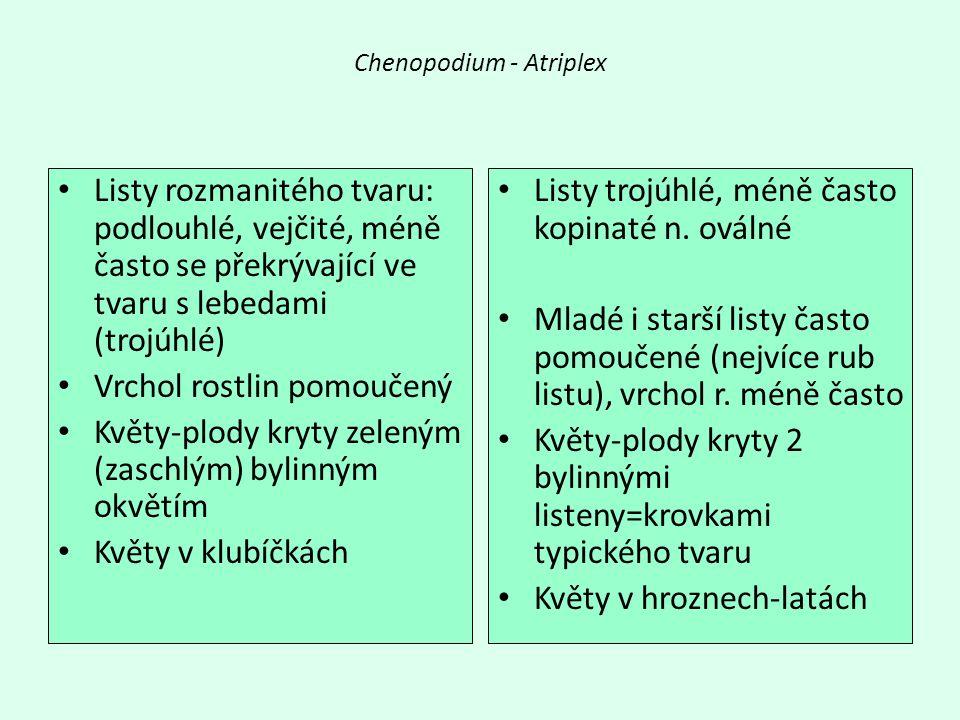 Chenopodium - Atriplex Listy rozmanitého tvaru: podlouhlé, vejčité, méně často se překrývající ve tvaru s lebedami (trojúhlé) Vrchol rostlin pomoučený Květy-plody kryty zeleným (zaschlým) bylinným okvětím Květy v klubíčkách Listy trojúhlé, méně často kopinaté n.