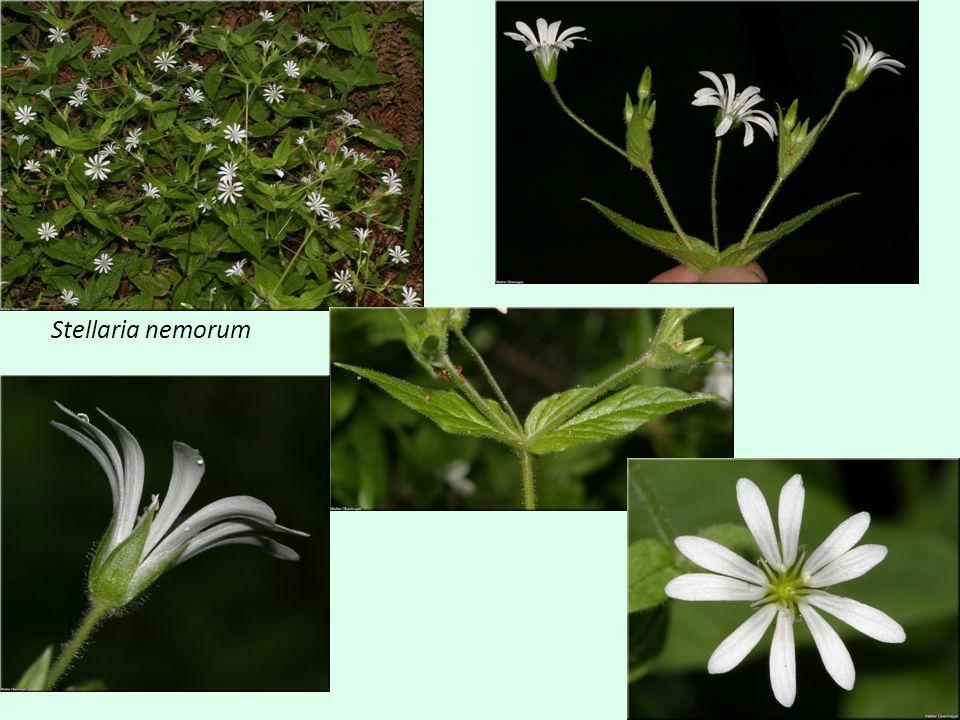Myosoton – Stellaria nemorum Kališní lístky celé velmi hustě pokryté žláznatými chlupy, za sucha matné Okraj listů lysý, zvlněný Listy přisedlé nebo krátce řapíkaté Řapík dolních l.