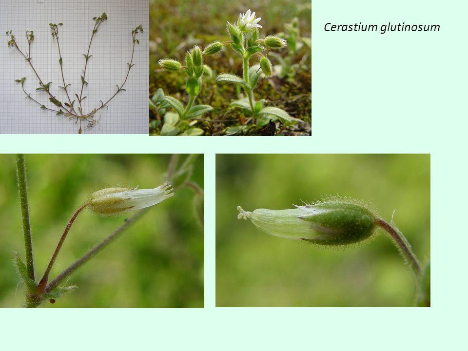 Chenopodium album – Ch. ficifolium