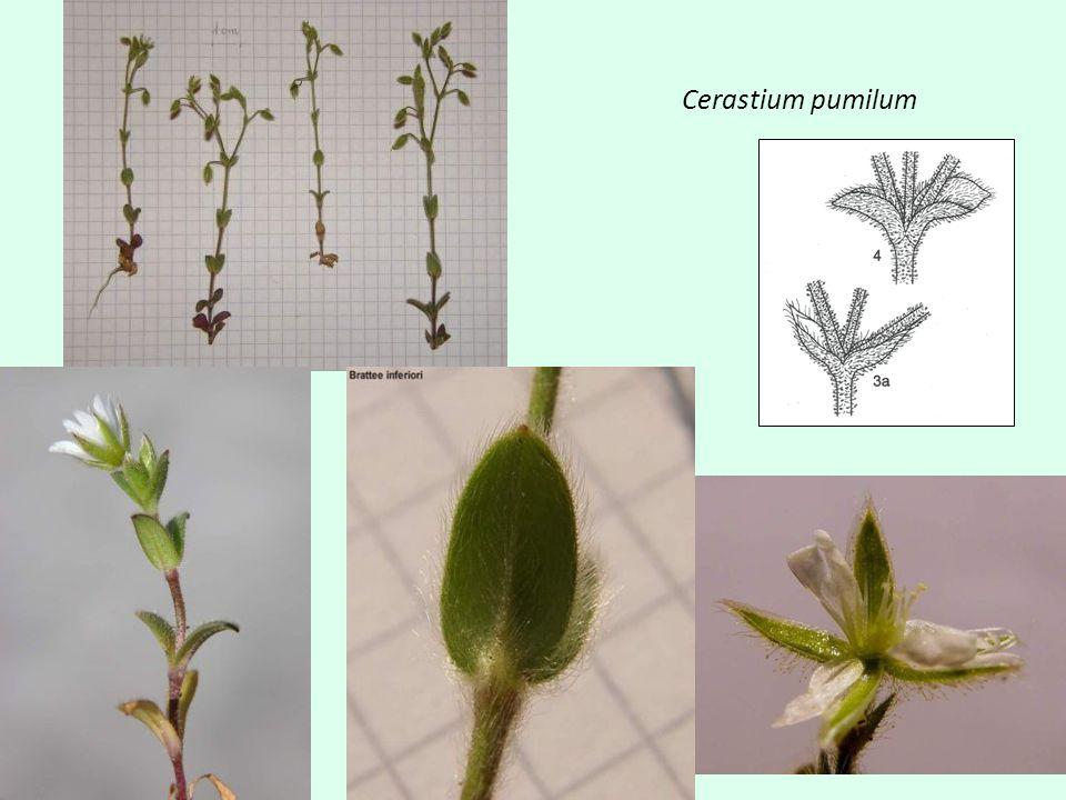 Dianthus carthusianorum - pontederae Lodyha 15-60 cm, v horní části hranatá Podkališní listence zřetelně osinaté Kalich 14-18 mm Čepel korunních lístků 7-12 mm dl.