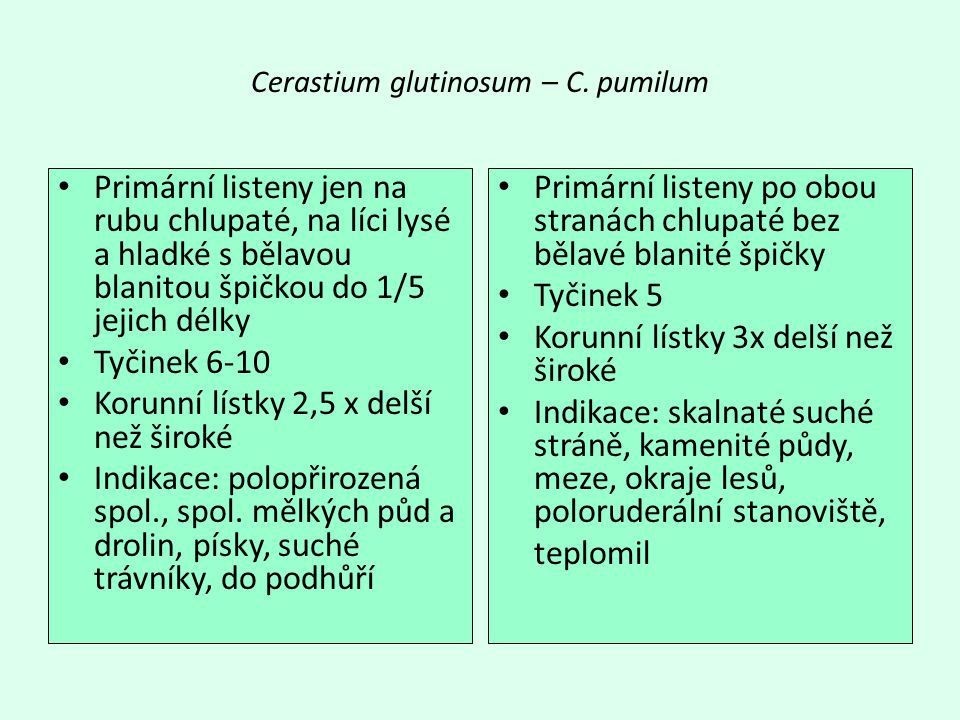 Cerastium glutinosum – C.