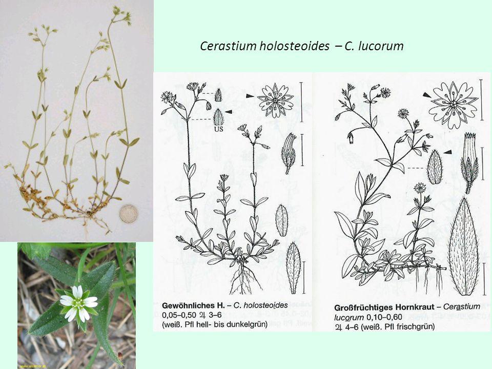 Melandrium album - rubrum Jednopohlavné květy (úzké kalichy u M, široké baňaté u F) rostliny jednodomé Čepel korunních lístků 10-13 mm Větve vidlanu roztroušeně chlupaté, lodyha těsně pod květenstvím bez žláznatých chlupů Indikace: ruderál, hlubší půdy bohaté N Jednopohlavné květy ale vždy na 1 rostlině jen 1 typ květu = dvoudomá r.