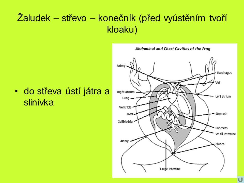 Žaludek – střevo – konečník (před vyústěním tvoří kloaku) do střeva ústí játra a slinivka