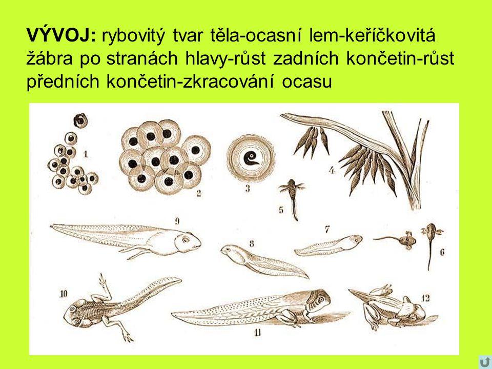 VÝVOJ: rybovitý tvar těla-ocasní lem-keříčkovitá žábra po stranách hlavy-růst zadních končetin-růst předních končetin-zkracování ocasu