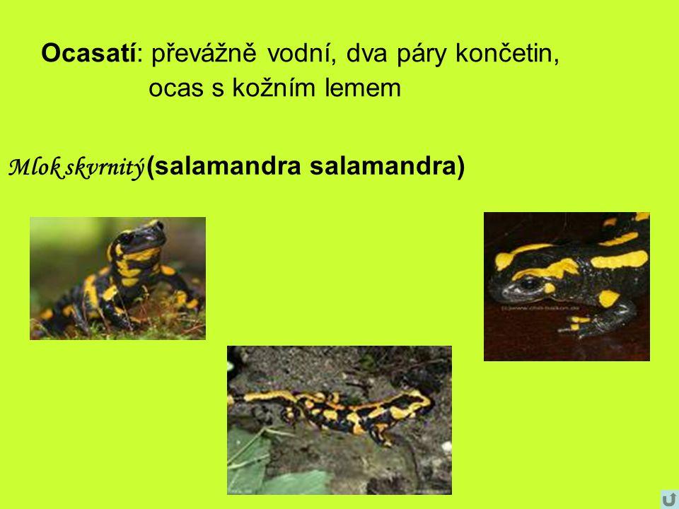 Ocasatí: převážně vodní, dva páry končetin, ocas s kožním lemem Mlok skvrnitý (salamandra salamandra)