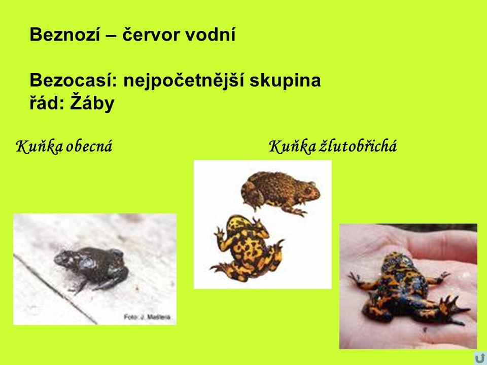 Beznozí – červor vodní Bezocasí: nejpočetnější skupina řád: Žáby Kuňka obecnáKuňka žlutobřichá