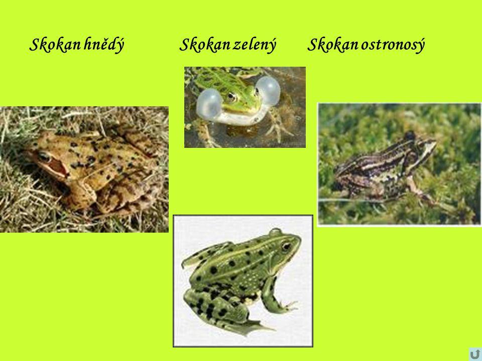 Skokan hnědý Skokan zelený Skokan ostronosý