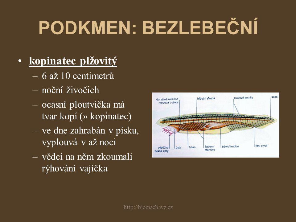 http://biomach.wz.cz PODKMEN: BEZLEBEČNÍ kopinatec plžovitý –6 až 10 centimetrů –noční živočich –ocasní ploutvička má tvar kopí (» kopinatec) –ve dne zahrabán v písku, vyplouvá v až noci –vědci na něm zkoumali rýhování vajíčka
