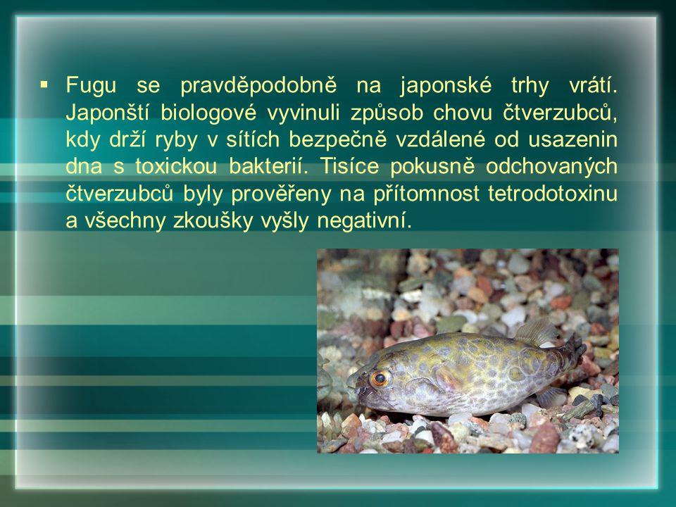  Fugu se pravděpodobně na japonské trhy vrátí. Japonští biologové vyvinuli způsob chovu čtverzubců, kdy drží ryby v sítích bezpečně vzdálené od usaze