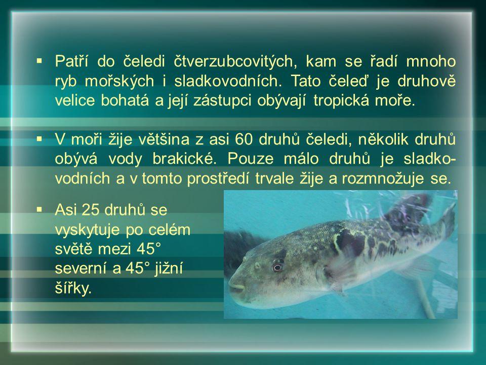  Patří do čeledi čtverzubcovitých, kam se řadí mnoho ryb mořských i sladkovodních. Tato čeleď je druhově velice bohatá a její zástupci obývají tropic