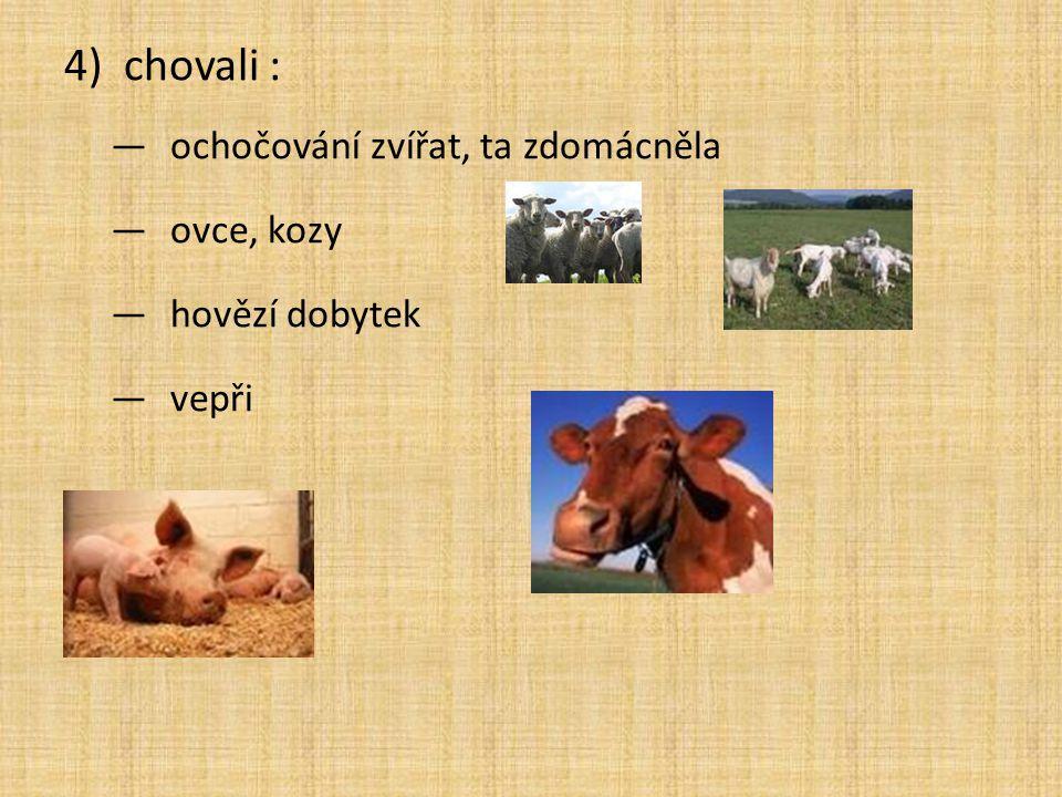 4)chovali : —ochočování zvířat, ta zdomácněla —ovce, kozy —hovězí dobytek —vepři
