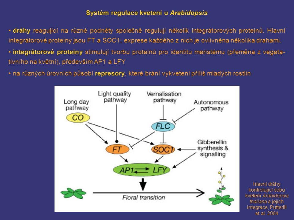 hlavní dráhy kontrolující dobu kvetení Arabidopsis thaliana a jejich integrace, Putterill et al. 2004 Systém regulace kvetení u Arabidopsis dráhy reag